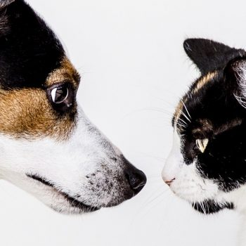 cat, dog, animals