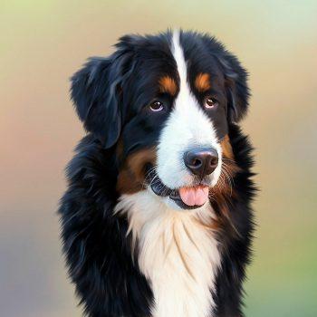 dog, bernese mountain dog, senner dog
